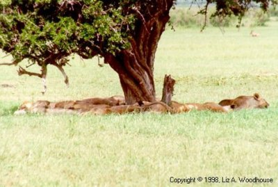 Lions sleeping under a tree