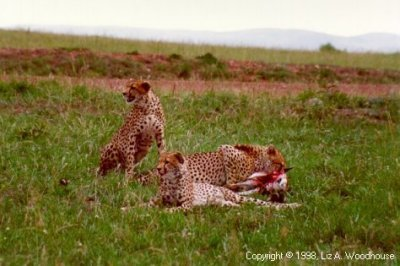 Cheetahs after killing an impala