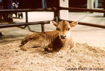 Baby Cow at the Fair