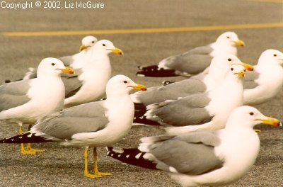 Segulls in Ranks
