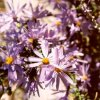 Lavender Aster/Daisy